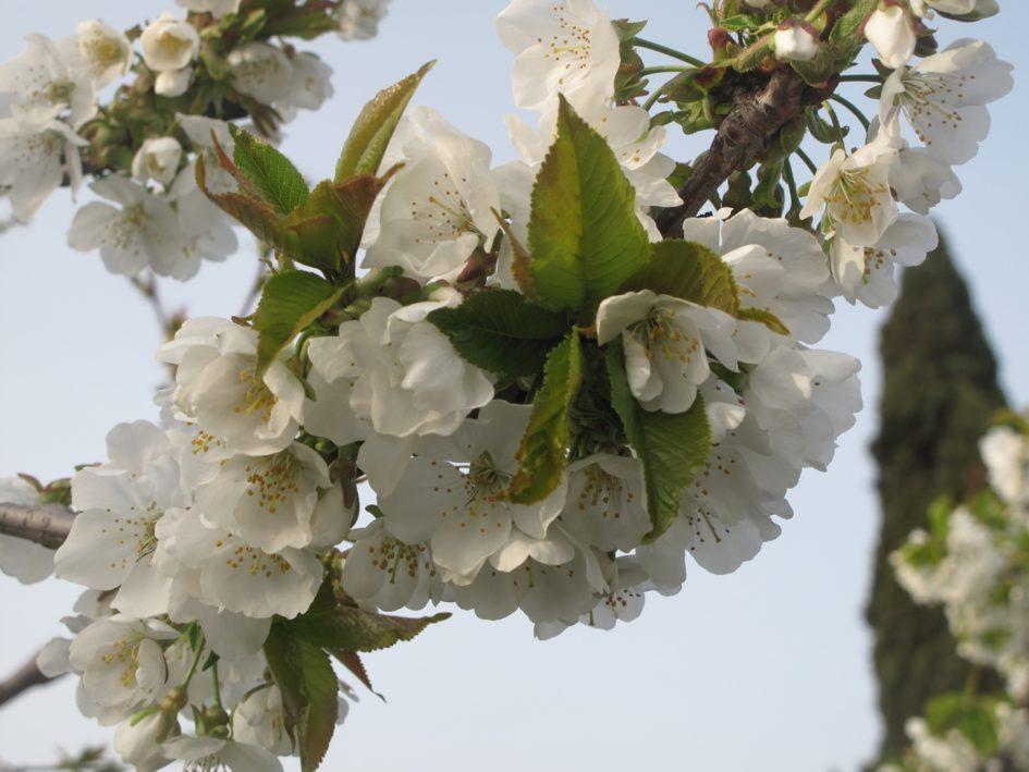 ciliegia di Vignola - ramo fiorito