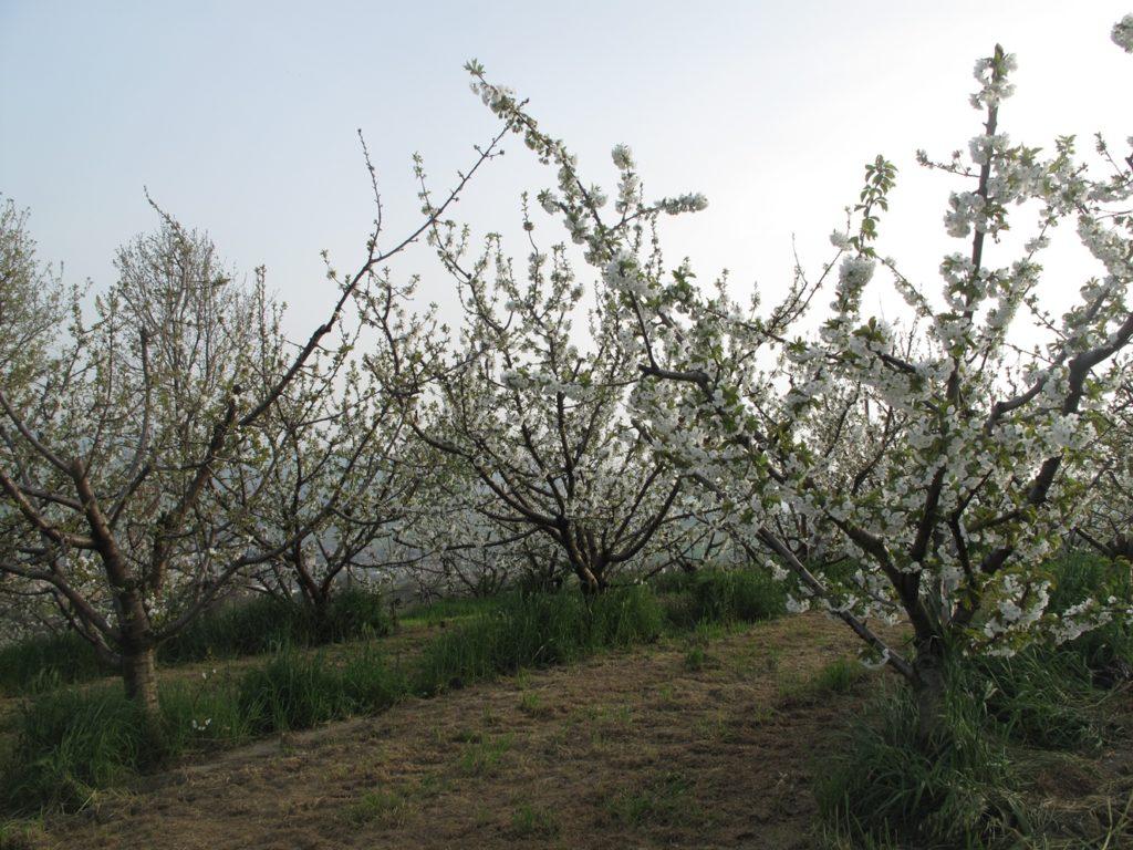 Alberi in fiore - ciliegia di Vignola