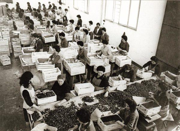 Storia di Vignola. Secondo dopoguerra. Cernitrici ortofrutticole al lavoro nel magazzino Bettelli e Ferrari. Foto archivio Gruppo Mezaluna-Mario Menabue